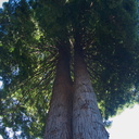 Sequoia-sempervirens-coastal-redwood-UCBerk-Bot-Gard-2012-12-13-IMG 2982