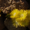 yellow-flowered-ice-plant-UCBerkeley-Bot-Gard-2013-03-01-IMG 0117