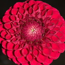 red-pompom-Dahlia-House-Casitas-2011-09-04-IMG 3337