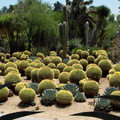 Echinocereus-grusonii-golden-barrel-cactus-garden-Huntington-Bot-Gard-2010-08-04-IMG 6365-big
