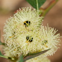 Eucalyptus-grossa-coarse-leaved-mallee-Huntington-Gardens-2017-04-01-IMG 4578