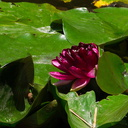 Nymphaea-sp-water-lily-deep-red-flower-Huntington-Bot-Gard-2010-08-04-IMG 6375
