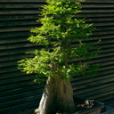 bonsai-bald-cypress-Huntington-Gardens-2017-04-01-IMG 8122
