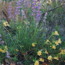 Mimulus-monkeyflower-and-Trichostema-lanatum-woolly-toes-Rancho-Santa-Ana-Bot-Gard-2013-11-09-IMG 9874