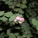 Symphoricarpos-x-doorenbosii-magic-berry-snowberry-Rancho-Santa-Ana-Bot-Gard-2013-11-09-IMG 9859