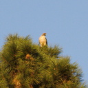 hawk-in-pine-tree-Rancho-Santa-Ana-Bot-Gard-2013-11-09-IMG 3031