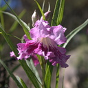 Chilopsis-linearis-desert-willow-SBBG-2009-10-16-CRW 8332