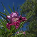 Chilopsis-linearis-desert-willow-SBBG-2009-10-16-IMG 3409