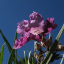 Chilopsis-linearis-desert-willow-SBBG-2009-10-16-IMG 3413