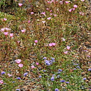 eriogonum-pink-and-blue-flower-indet-2006-07-01