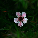 leptospermum-ray-williams-1-2006-06-27