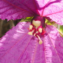 Dalechampia-dioscoreifolia-purple-wings-euphorb-Cent-Am-UCLA-Bot-Gard-2012-07-16-IMG 2254