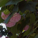 Dombeya-x-cayeuxii-pink-snowball-tree-Mildred-Mathias-Bot-Gard-UCLA-2016-01-26-IMG 6457