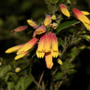 Justicia-rizzinii-orange-yellow-flowers-UCLA-Bot-Gard-2013-01-08-IMG 7195