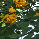 Tipuana-tipu-yellow-legume-tree-S-Am-UCLA-Bot-Gard-2012-07-16-IMG 2246