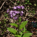 purple-flowered-indet-herb-heliotrope-with-bee-UCLA-Bot-Gard-2012-07-16-IMG 2270