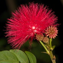 red-flowered-fairyduster-tree-UCLA-Bot-Gard-2013-01-08-IMG 7184