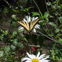 tiger-swallowtail-butterfly-Papilio-glaucas-UCLA-Bot-Gard-2012-07-16-IMG 2262
