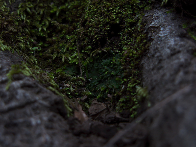 Phaeoceros-hornwort-vegetative-among-moss-Satwiwa-waterfall-trail-Santa-Monica-Mts-2011-02-08-IMG_7058.jpg