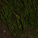 hornwort-Satwiwa-waterfall-trail-2011-03-29-IMG 1893