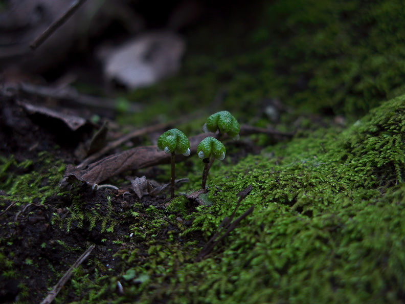 Asterella-californica-thallose-liverwort-carpocephala-Satwiwa-waterfall-trail-Santa-Monica-Mts-2011-02-08-IMG 7056