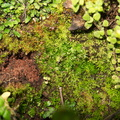 Fossombronia-sp-thallose-liverwort-vernal-pools-Santa-Rosa-Reserve-2011-03-16-IMG 7276