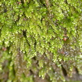 foliose-liverwort-Satwiwa-waterfall-trail-2011-03-29-IMG 1903