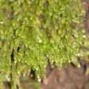 foliose-liverwort-Satwiwa-waterfall-trail-2011-03-29-IMG 1904