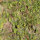 foliose-liverwort-Satwiwa-waterfall-trail-2011-03-29-IMG 1909