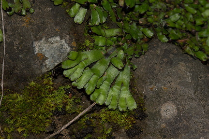 thallose-liverwort-Satwiwa-waterfall-trail-2011-03-29-IMG 1889