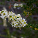 Adenostoma-fasciculatum-chamise-blooming-Angel-Vista-2016-04-11-IMG 6736