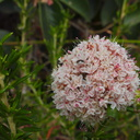 Eriogonum-fasciculatum-California-buckwheat-Angel-Vista-trail-2015-05-04-IMG 4891