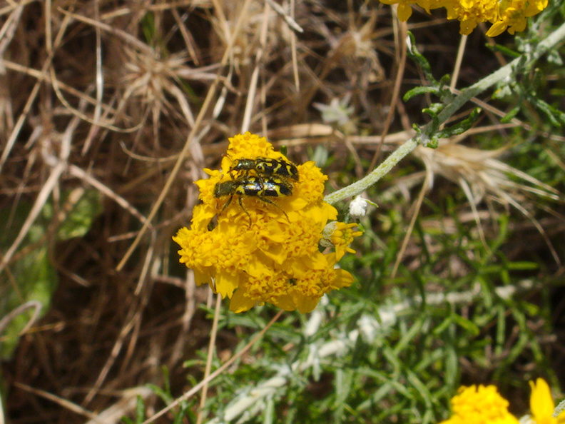 Eriophyllum-confertflorum-golden-yarrow-with-pollinators-Angel-Vista-trail-2015-05-04-IMG 4927