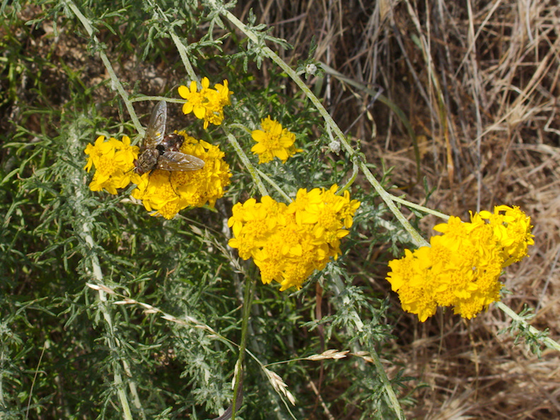Eriophyllum-confertflorum-golden-yarrow-with-pollinators-Angel-Vista-trail-2015-05-04-IMG 4929