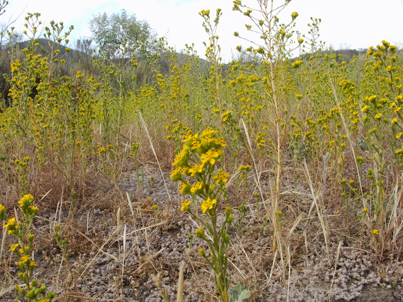 Hemizonia-fasciculata-clustered-tarweed-in-golden-field-Angel-Vista-trail-2015-05-04-IMG 4868