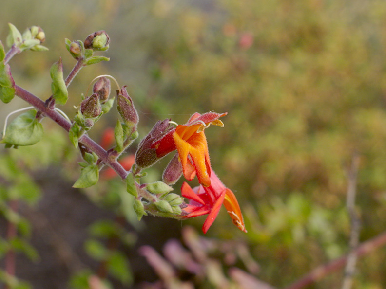Justicia-californica-chuparosa-Angel-Vista-trail-2015-05-04-IMG 4867