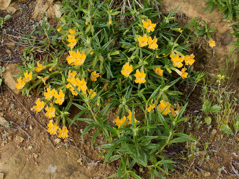Mimulus-aurantiacus-sticky-monkeyflower-Angel-Vista-2016-04-11-IMG 6731