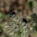 Phacelia-cicutaria-caterpillar-phacelia-with-shiny-black-beetles-Angel-Vista-2016-04-27-IMG 6752