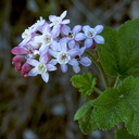 Ribes-malvaceum-chaparral-currant-pink-flowers-Angel-Vista-2016-01-25-IMG 6451