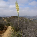 Yucca-whipplei-chaparral-yucca-Angel-Vista-trail-2015-05-04-IMG 4917