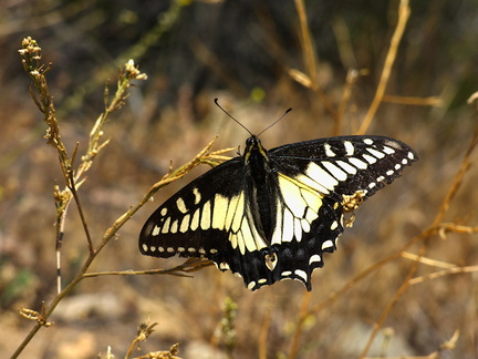 anise-swallowtail-butterfly-Papilio-zelicaon-Angel-Vista-Trail-2015-05-23-IMG 5004