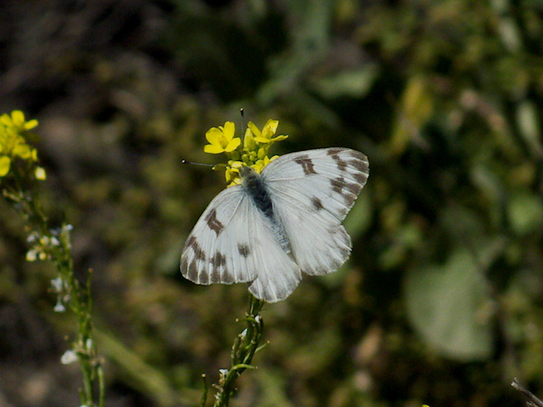 butterfly-on-weedy-yellow-crucifer-Angel-Vista-2016-04-27-IMG 6771