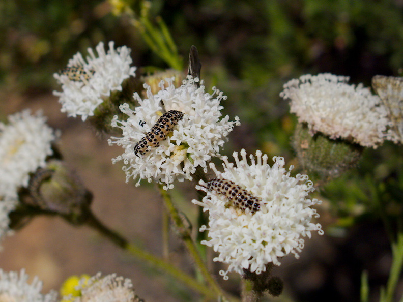 caterpillars-on-Chaenactis-artemisifolia-pincushion-flower-Angel-Vista-2016-04-27-IMG 6767