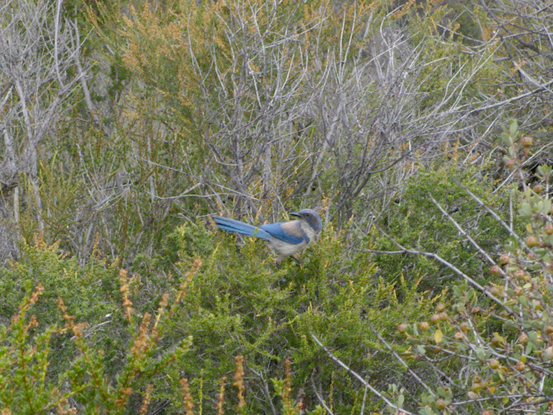 scrub-jay-Angel-Vista-trail-2015-05-04-IMG 4905