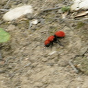 velvet-ant-Dasymutilla-sp-Angel-Vista-trail-2015-05-18-IMG 4975