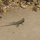 western-fence-lizard-Sceleporus-occidentalis-Angel-Vista-trail-2015-05-04-IMG 4936
