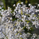 Ceanothus-spinosus-greenbark-near-Painted-Cave-Santa-Barbara-2013-04-06-IMG 0515