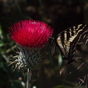 Cirsium-occidentale-var-candidissimum-with-tiger-swallowtail-butterfly-Camino-Cielo-2010-06-11-IMG 6091