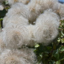 Clematis-sp-woolly-fruits-near-Painted-Cave-Santa-Barbara-2015-05-27-IMG 0754