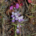 Collinsia-bartsifolia-near-Painted-Cave-Santa-Barbara-2015-05-27-IMG 0756